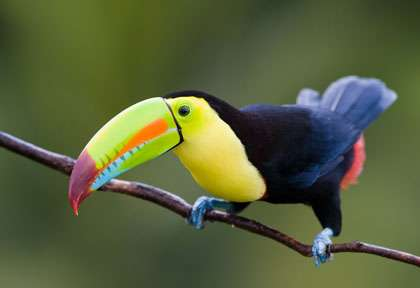 Toucan au Mexique