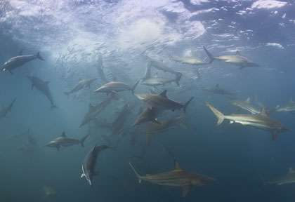 Requin pendant un Sardine run