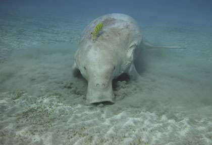 Le dugong de Shark Bay et Exmouth