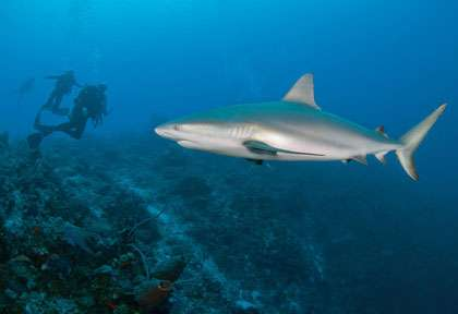 requin en plongée à West Caicos