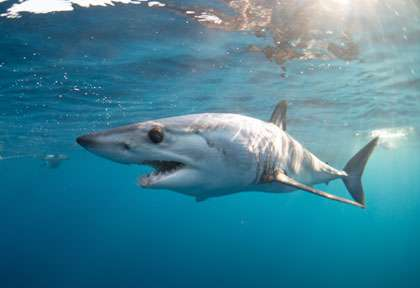 Requin Mako au Mexique