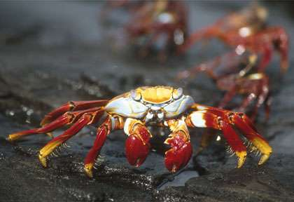 Crabe Rouge aux Galapagos