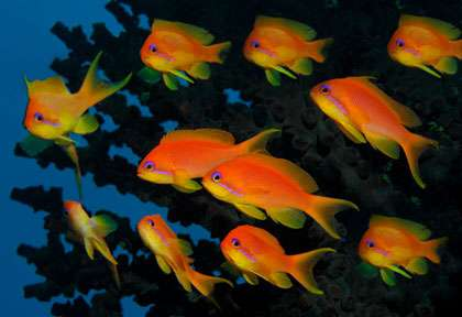 Anthias aux Maldives