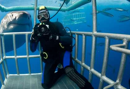 Observation en cage du grand requin blanc