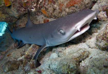 Requin aux Galapagos